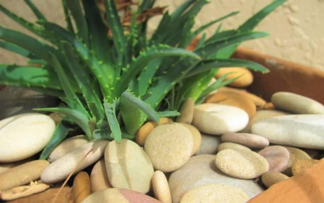 Aloes - sprzymierzeniec dla zdrowia seniora (część I)