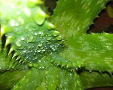 Aloes - sprzymierzeniec dla zdrowia seniora